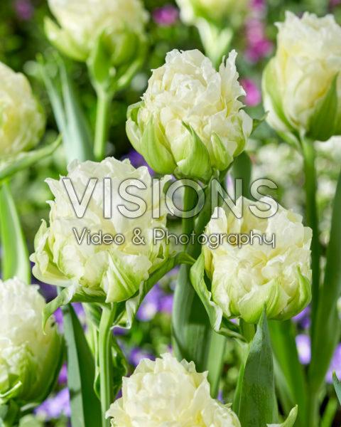 Tulipa Whipped Cream