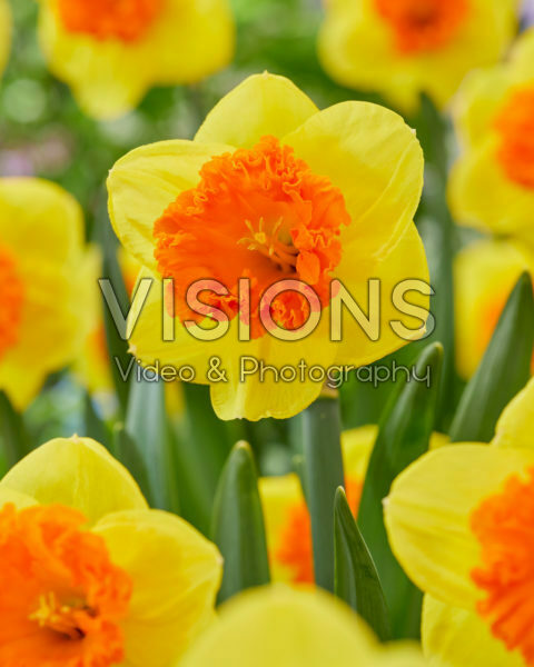 Narcissus Coral Crown