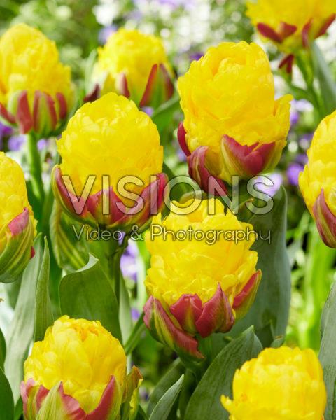 Tulipa Ice Cream Banana