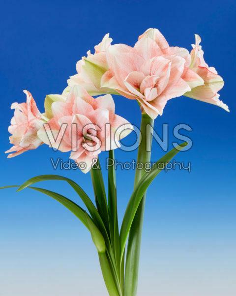 Hippeastrum Pink Glory