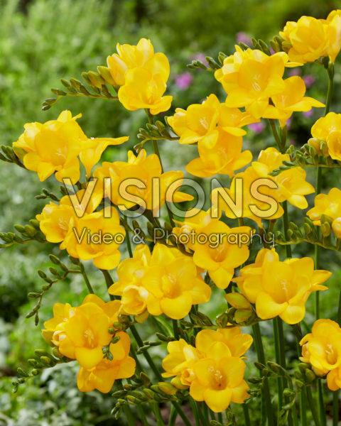 Freesia yellow