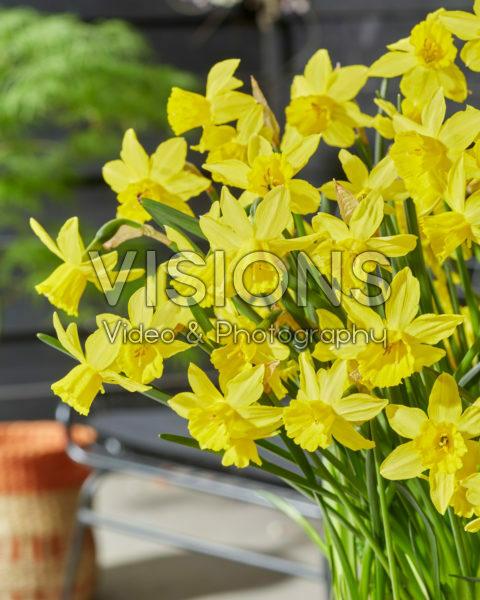 Narcissus Yellow Sailboat