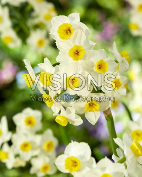 Narcissus Avalux