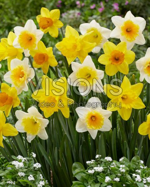 Narcissus gemengd