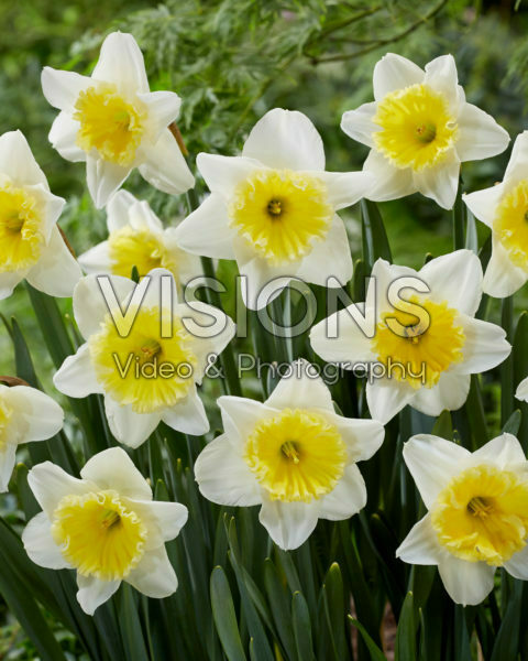 Narcissus Ice Follies