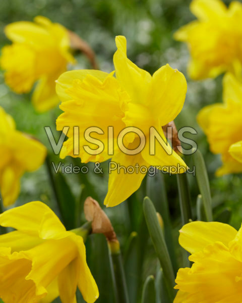 Narcissus Unsurpassable