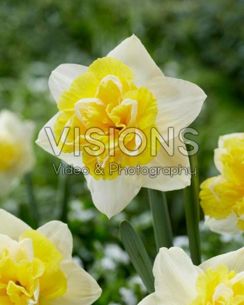 Narcissus 04-207