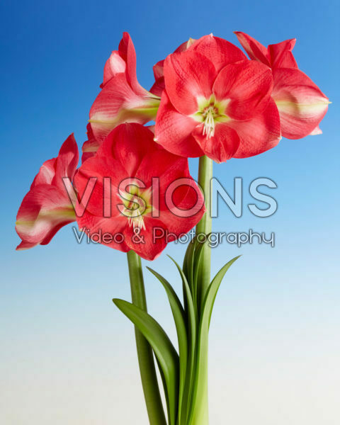 Hippeastrum Candy Queen