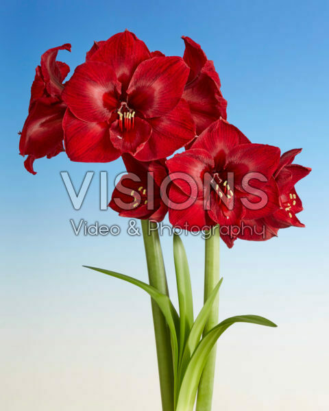 Hippeastrum Red Reality