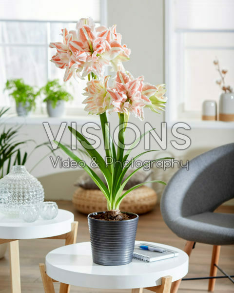 Hippeastrum Dancing Queen