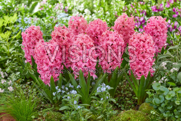 Hyacinthus Ida