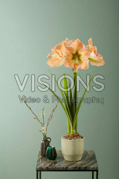 Hippeastrum Apricot Touch