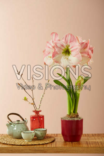 Hippeastrum Cherry Blossom®
