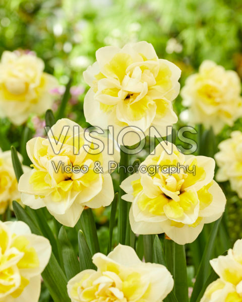 Narcissus Janneke