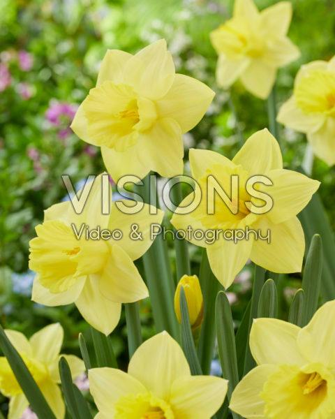 Narcissus 04-302