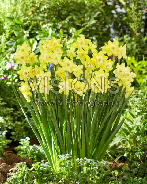 Narcissus Verdin