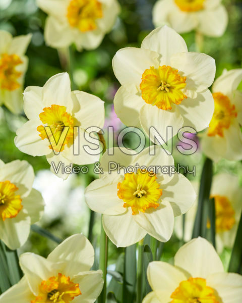 Narcissus 409 Lace