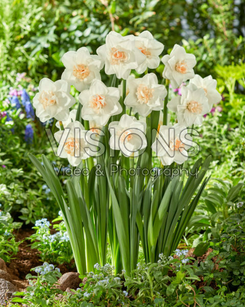 Narcissus Tender Beauty