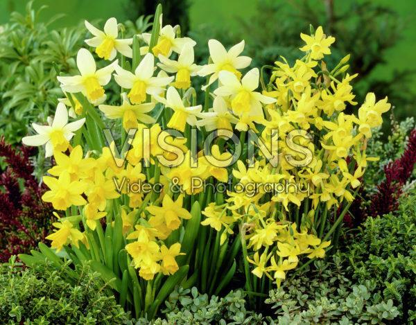 Narcissus Jack Snipe, Hawera, Tete Tete Mixed