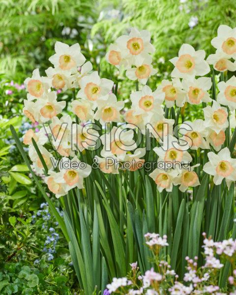 Narcissus Cosmopolitan