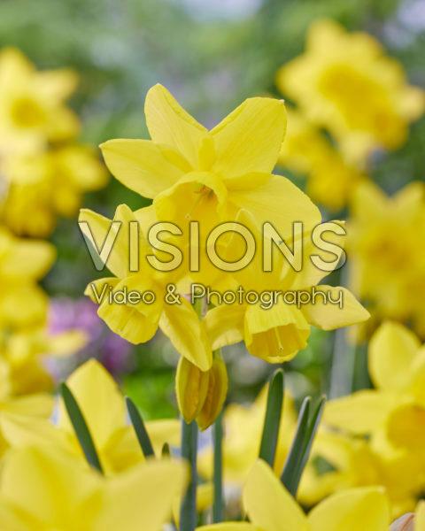 Narcissus Yellow Ocean