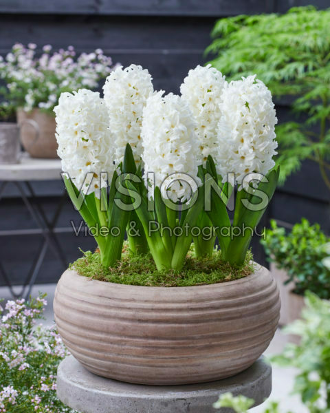 Hyacinthus Don Leon