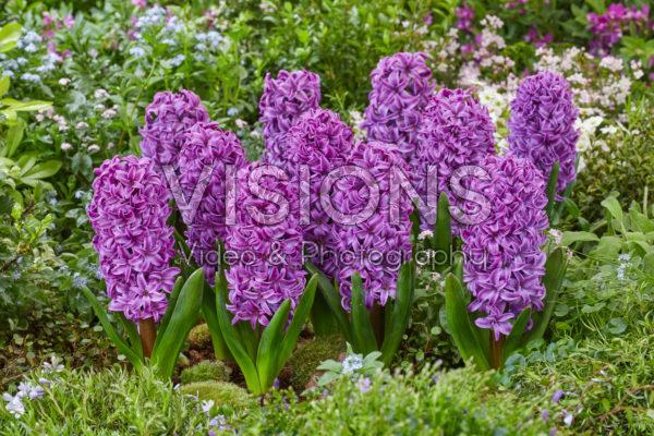 Hyacinthus Purple Dream