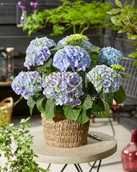 Hydrangea macrophylla Hi River Blue