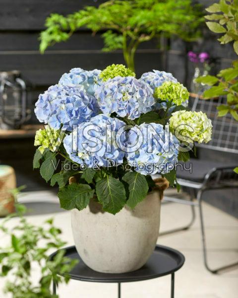 Hydrangea macrophylla Hi Mountain Blue