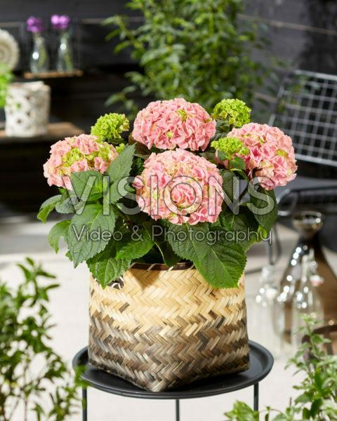 Hydrangea macrophylla Hi Mountain Pink