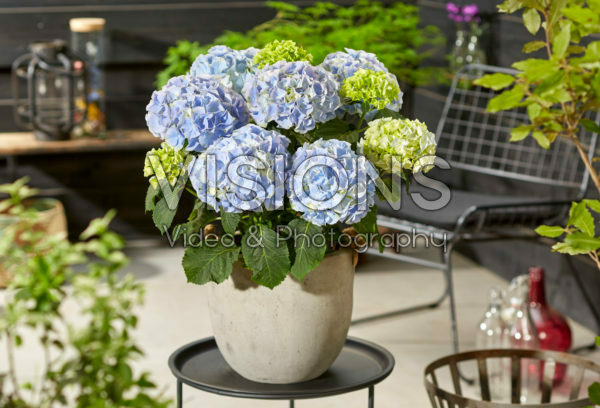 Hydrangea macrophylla Hi Mountain Blue