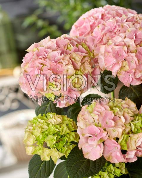 Hydrangea macrophylla Hi River Pink