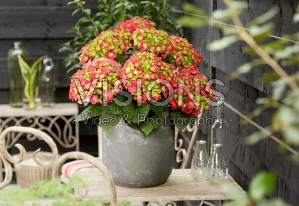 Hydrangea macrophylla Hi Fire
