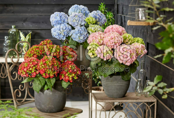 Hydrangea macrophylla Hi Fire, Hi Mountain Blue, Hi River Pink