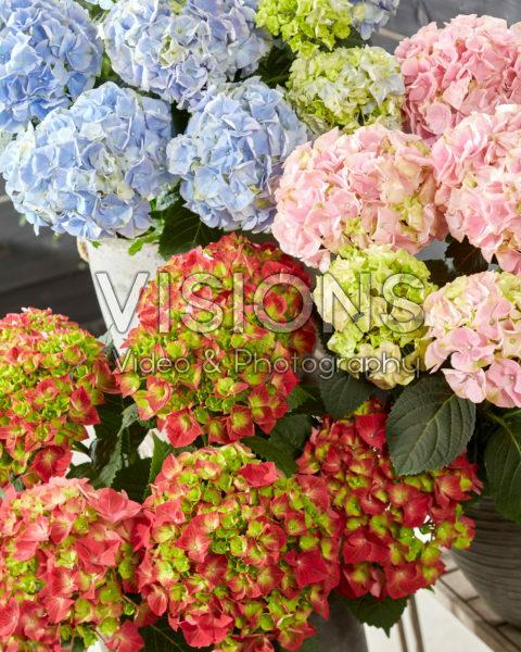 Hydrangea macrophylla Hi Fire, Hi Mountain Blue, Hi River Pink