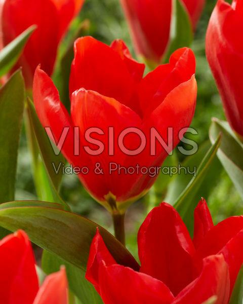 Tulipa Madame Lefeber