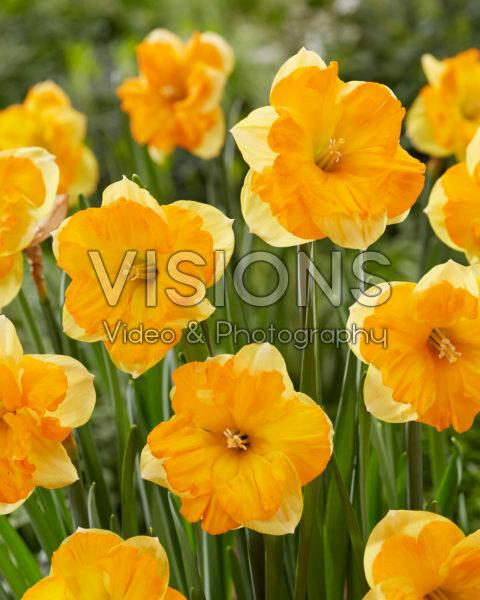 Narcissus Centannees