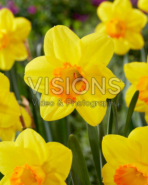 Narcissus Goldflake