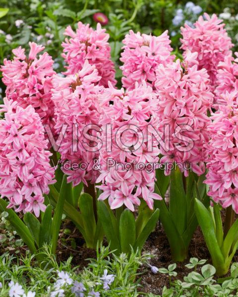 Hyacinthus Fondant