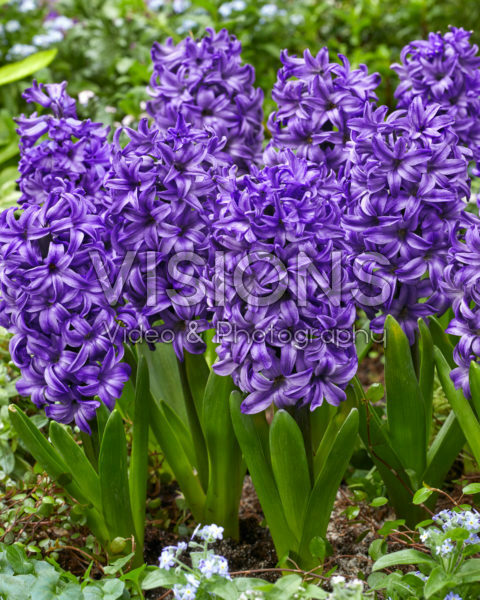 Hyacinthus Atlantic