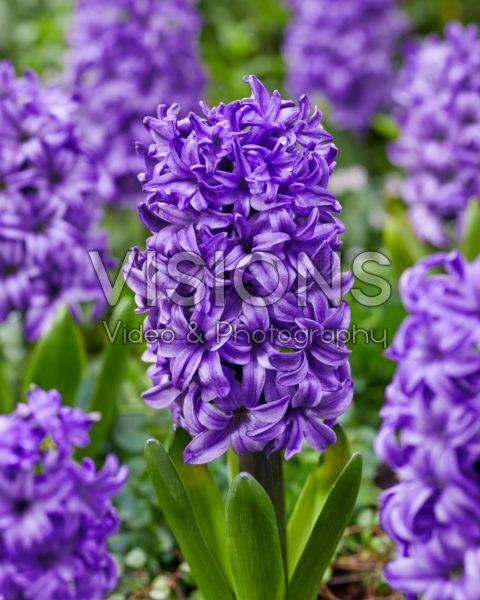 Hyacinthus Atlantic