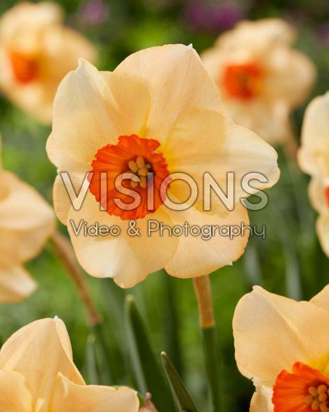 Narcissus Altruist