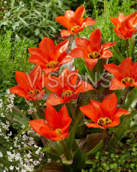 Tulipa Park Dreamway