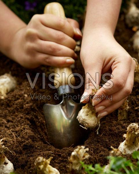 Planting Polianthes tuberosa bulbs