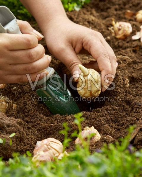 Gladiolus nanus bollen planten