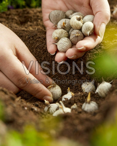 Moraea bollen planten