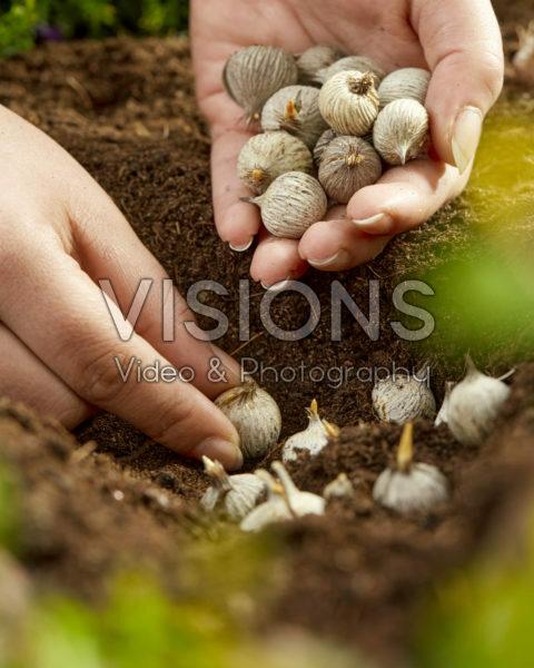 Planting Moraea bulbs