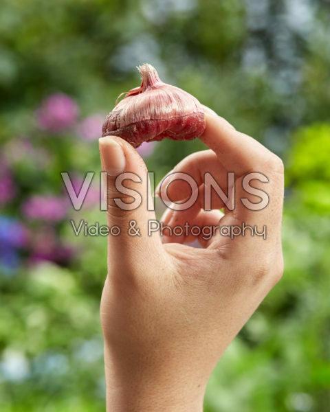 Gladiolus nanus bol