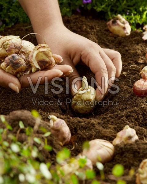 Planting Gladiolus nanus bulbs