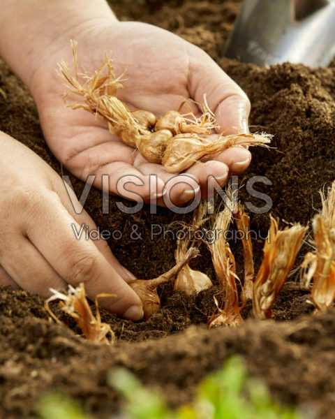 Planting Babiana stricta